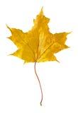 Autumn Maple Leaf. Isolated on white background royalty free stock photo