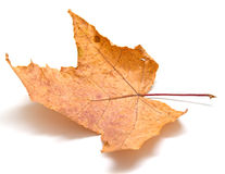 Autumn maple leaf. On white background. Isolation, shallow DOF Royalty Free Stock Photos