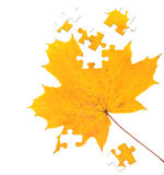 Autumn maple leaf Royalty Free Stock Image