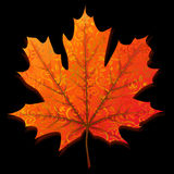 Autumn maple leaf. Isolated on black background Royalty Free Stock Images