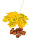 Autumn maple leaf and acorns Stock Photos