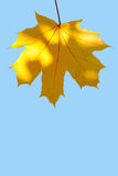 Autumn maple leaf against blue sky Royalty Free Stock Photography