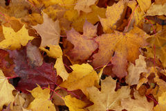 Autumn maple leaf aground. Red and yellow royalty free stock photo