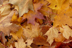 Autumn maple leaf aground. Autumn red and yellow maple leaf aground Royalty Free Stock Photography