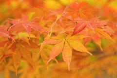 Autumn maple leaf background. Autumn maple ,autumn leaf background Royalty Free Stock Image