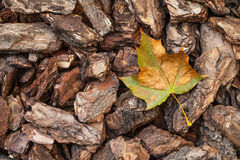 Autumn maple leaf on the background of the bark from the trees.  Stock Photos