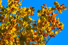 Autumn Maple Leaf Background of gold, red, and green agains a de. Ep blue sky Stock Photography