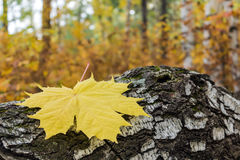 Autumn. Maple leaf on a birch branch Stock Image