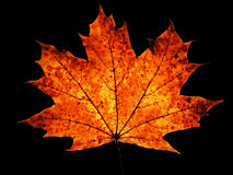 Autumn maple leaf on black background Royalty Free Stock Photos