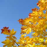Autumn maple leaf on blue sky. Yellow autumn foliage on blue sky background Stock Image