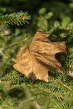 Autumn maple leaf on the branches of spruce stock image