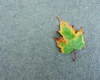 Autumn Maple Leaf Changing Green to Yellow. Seasonal background Royalty Free Stock Photos