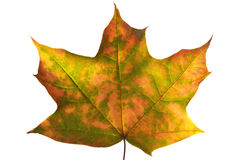 Autumn maple leaf (clipping path isolation) Royalty Free Stock Image