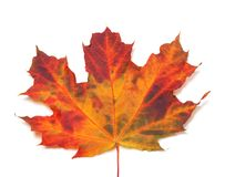 Autumn maple-leaf. Close-up view Royalty Free Stock Image