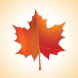 Autumn maple leaf. Royalty Free Stock Images