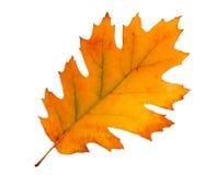 Autumn maple leaf. Colorful autumn maple leaf isolated on white background Stock Photos