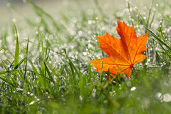 Autumn maple leaf in the dewy grass Royalty Free Stock Photography