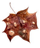 Autumn maple leaf with drops of rain Royalty Free Stock Photo