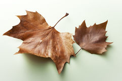 Autumn Maple Leaf en un fondo verde Imagen de archivo