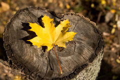 Autumn maple leaf fallen on a stump. Top view. Close-up Stock Image
