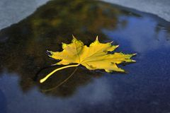 Autumn maple Leaf fell into the water Royalty Free Stock Image