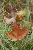 An Autumn Maple leaf in the Grass stock image