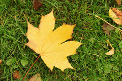 Autumn maple leaf in the grass. Fall theme shallow focus photo Royalty Free Stock Photo