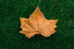 Autumn maple leaf on green grass royalty free stock photos
