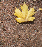 Autumn maple leaf on the ground Royalty Free Stock Images