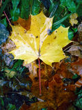 Autumn maple leaf on ground Stock Images