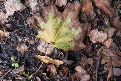 Autumn maple leaf on ground. Color photo autumn maple leaf on ground Royalty Free Stock Photography