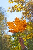 Autumn Maple Leaf illumined by the sunlight. Person holding illumined autumn maple leaf in sunlight at outdoor park Royalty Free Stock Images