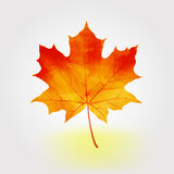 Autumn maple leaf  illustration Stock Photos