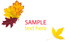 Autumn maple leaf isolated Royalty Free Stock Images