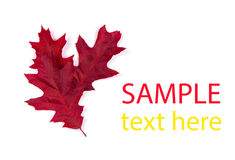 Autumn maple leaf isolated Stock Photography
