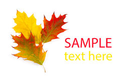 Autumn maple leaf isolated Stock Image