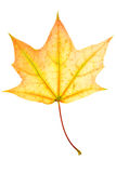 Autumn maple leaf Royalty Free Stock Photos