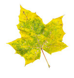 Autumn maple-leaf, isolated on a white background Royalty Free Stock Photo