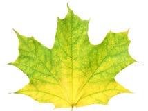 Autumn maple leaf. Isolated on white background stock photography