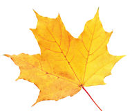 Autumn maple leaf Stock Photography