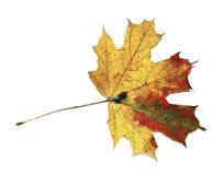 Autumn maple leaf isolated Stock Photography