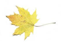 Autumn maple leaf isolated Royalty Free Stock Image