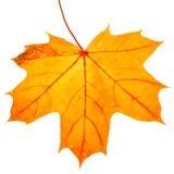 Autumn maple leaf isolated on white background. Close up stock photo