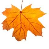 Autumn maple leaf isolated on white background. Close up stock photos