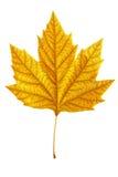 Autumn maple leaf isolated on white background Stock Images