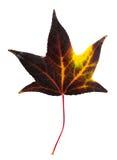 Autumn maple leaf isolated on white background. Autumn dark with yellow maple leaf isolated on white background Stock Image