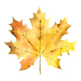 Autumn maple leaf isolated on white background Royalty Free Stock Images