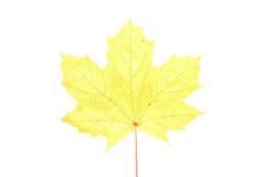 Autumn maple leaf isolated Stock Image