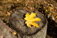 Autumn maple leaf lying on a tree stump.  Autumn in the park. Top view Royalty Free Stock Photo