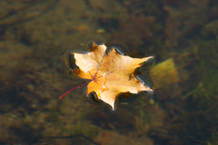The autumn maple leaf lying on water. The autumn maple leaf which lying on water and has been removed close up Royalty Free Stock Photo